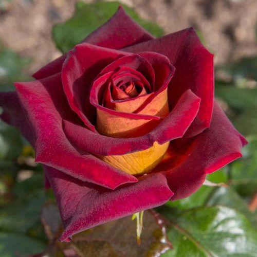 Rosa Black Gold