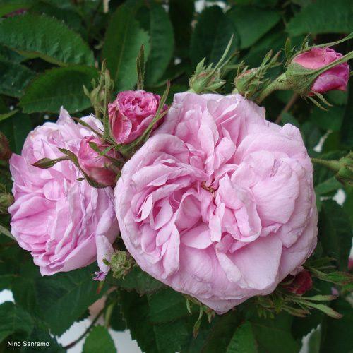 Rosa gallica centifolia