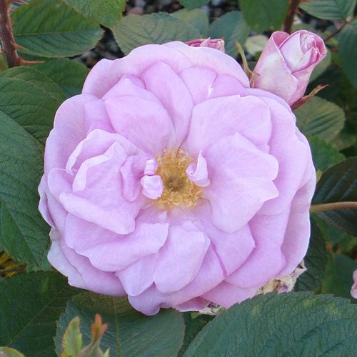 Rose des Quatre Saisons