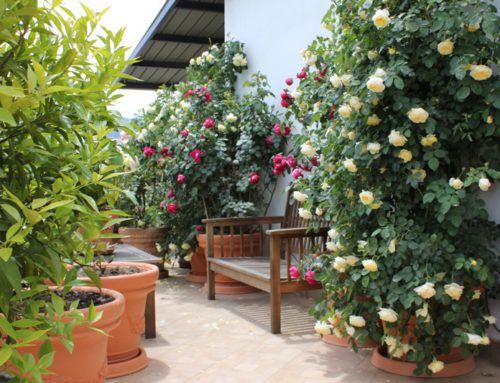 Come coltivare le Rose in vaso e sui terrazzi