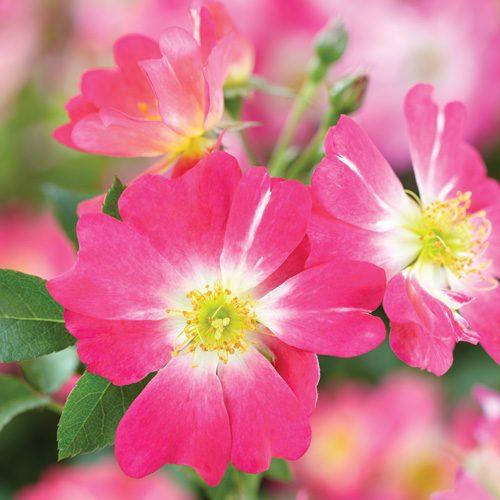 Pink Drfit