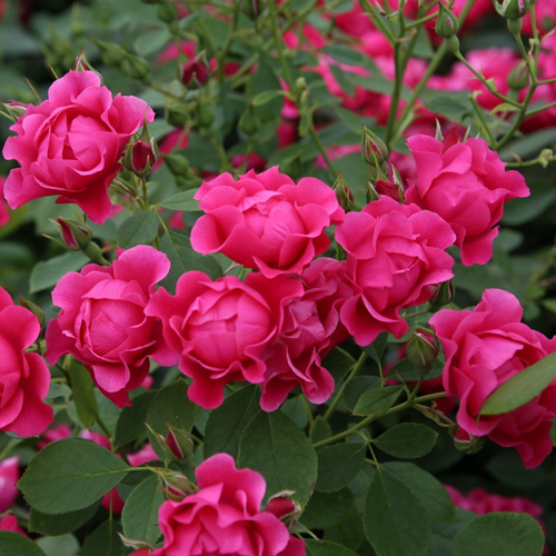 Pink Forest Rose