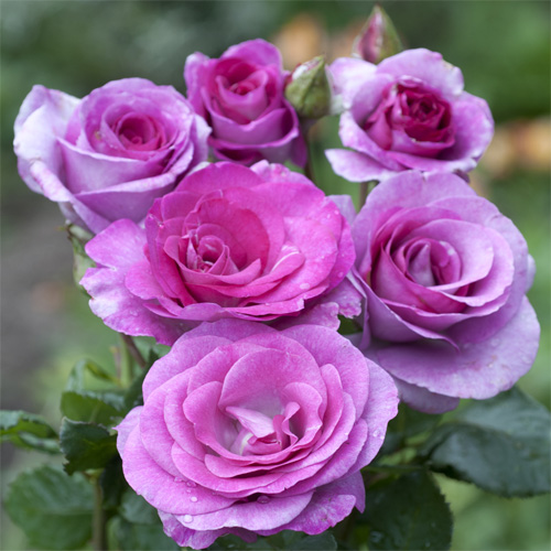 Violette Parfumee° Gpt
