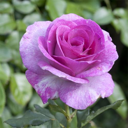 Violette Parfumee° Gpt quad